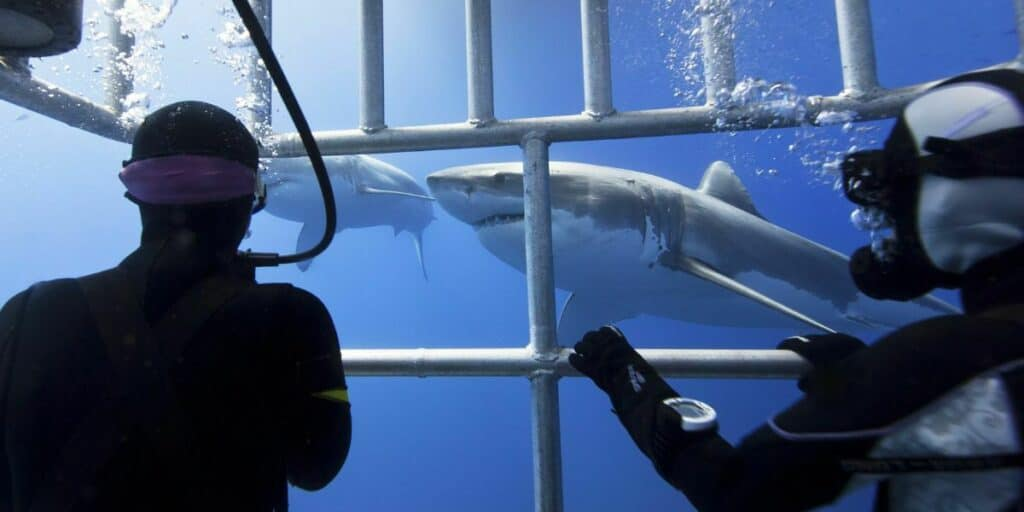 cage diving with sharks