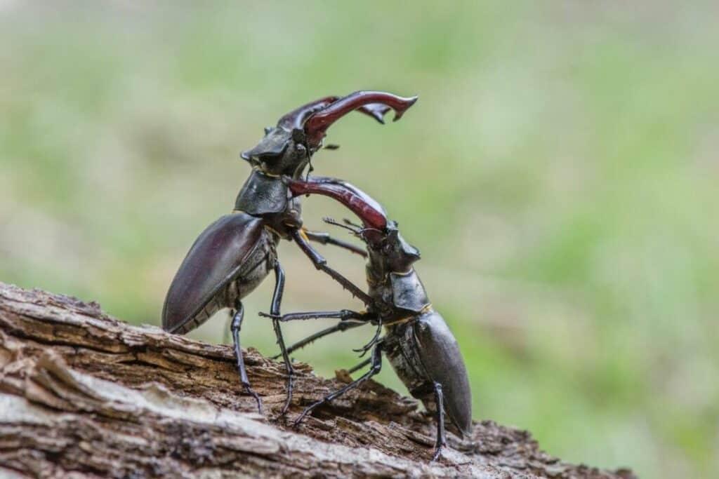 beetle fighting