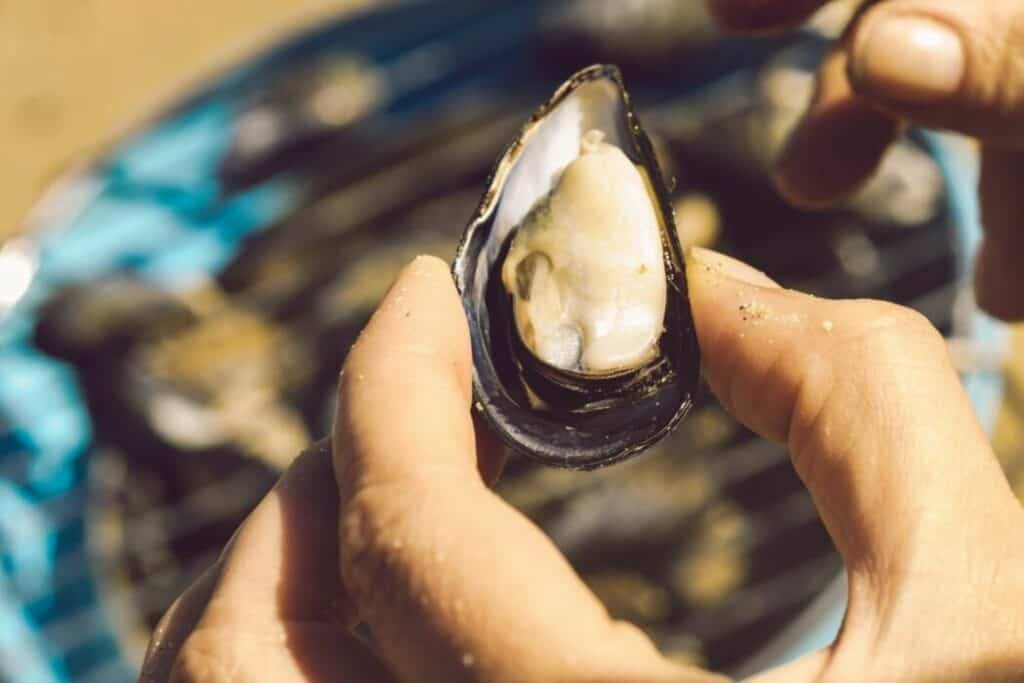 foraging beach mussels